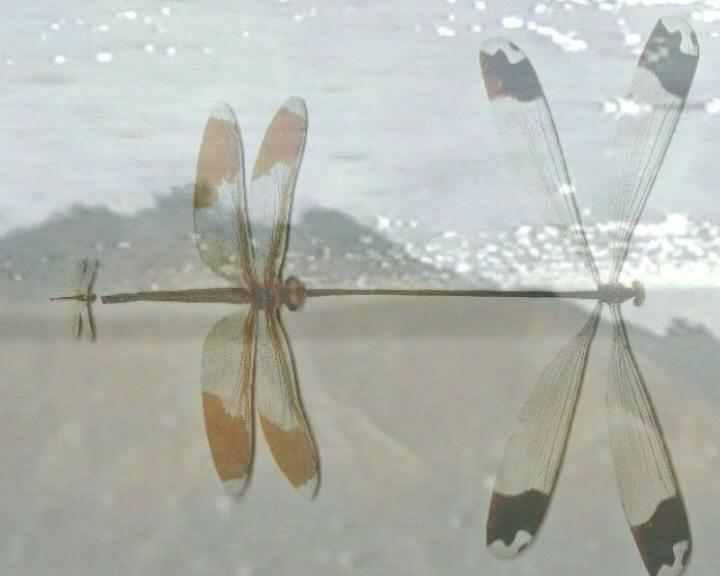 Tremble_dragonfly_1